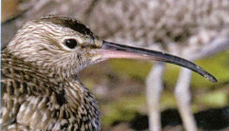 Ledeuxi me oiseau est un ibis il a un bec recourb comme for Oiseau a long bec